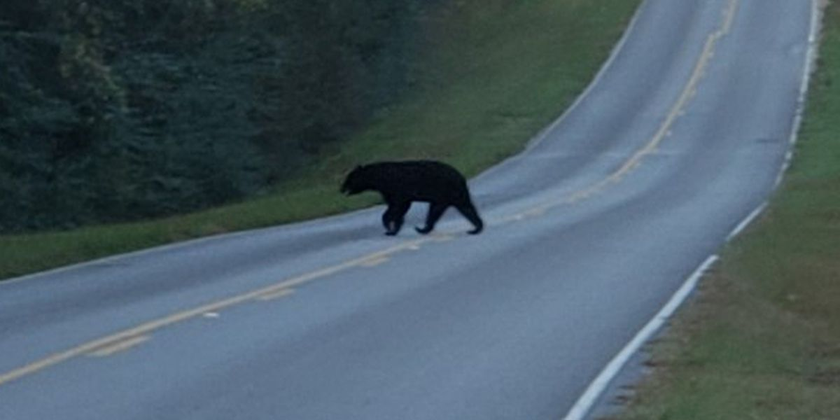 Mississippi bus driver spots black bear on morning route