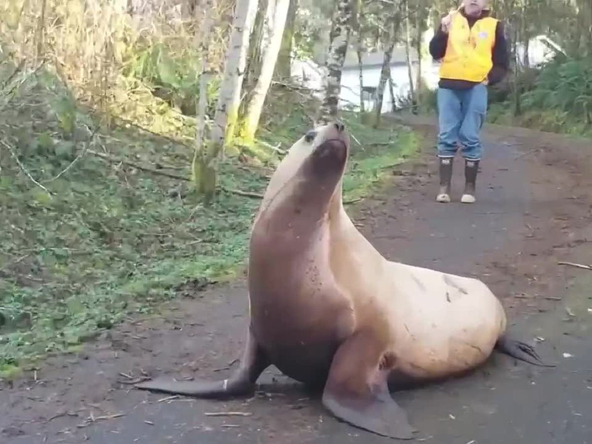 Giant sea lion wanders miles from water, needs help getting back to its river