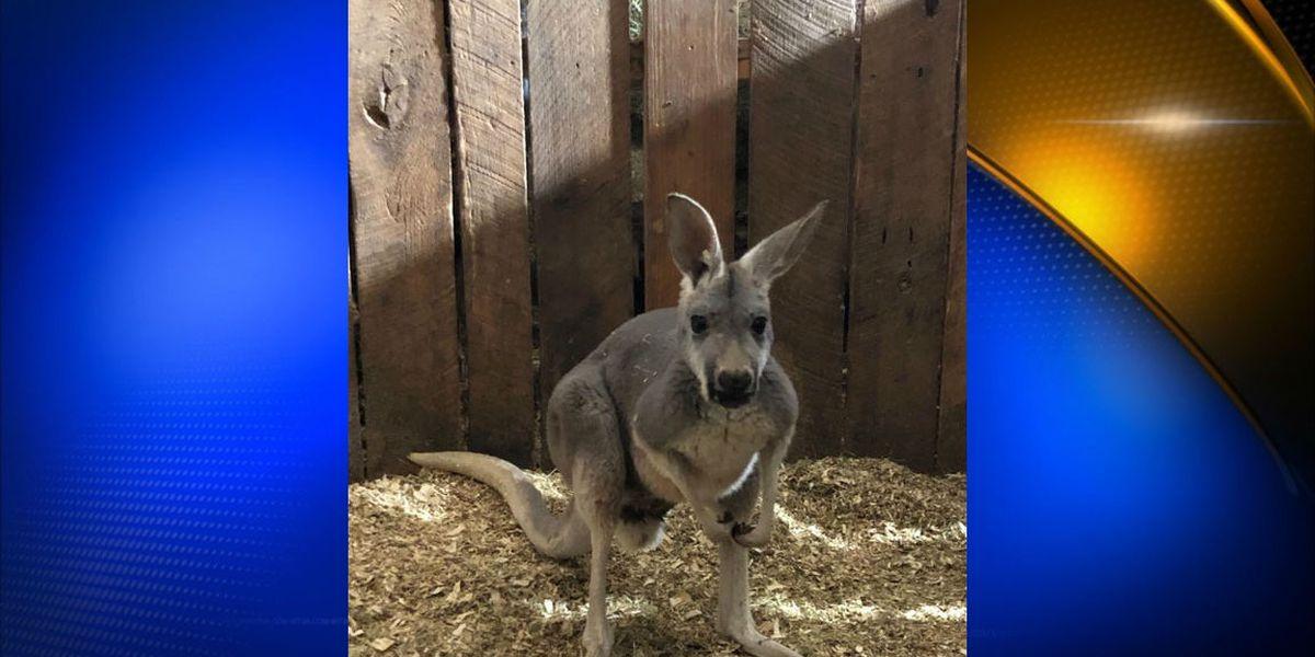 Kangaroo missing in Tupelo area