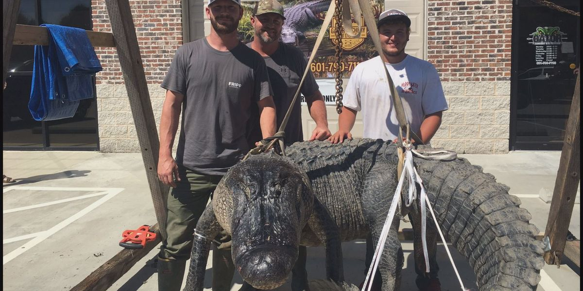 'That's a once-in-a-lifetime alligator right there': Mississippi alligator hunters capture 700 lbs. monster