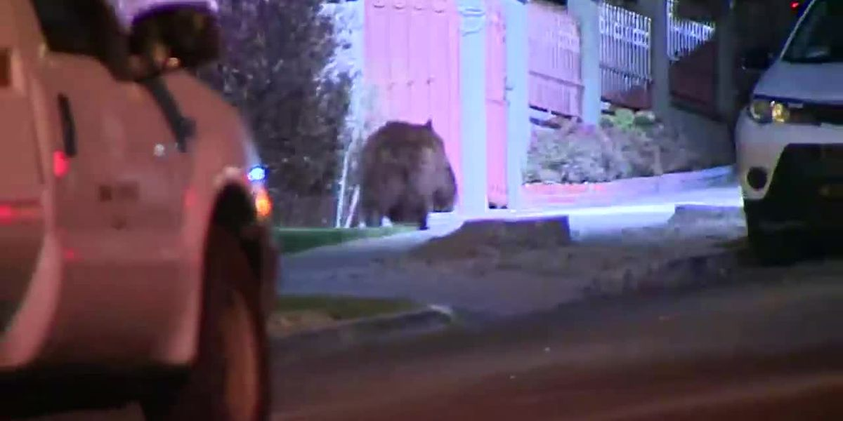 CA: BEAR WALKS THRU LOS ANGELES NEIGHBORHOOD