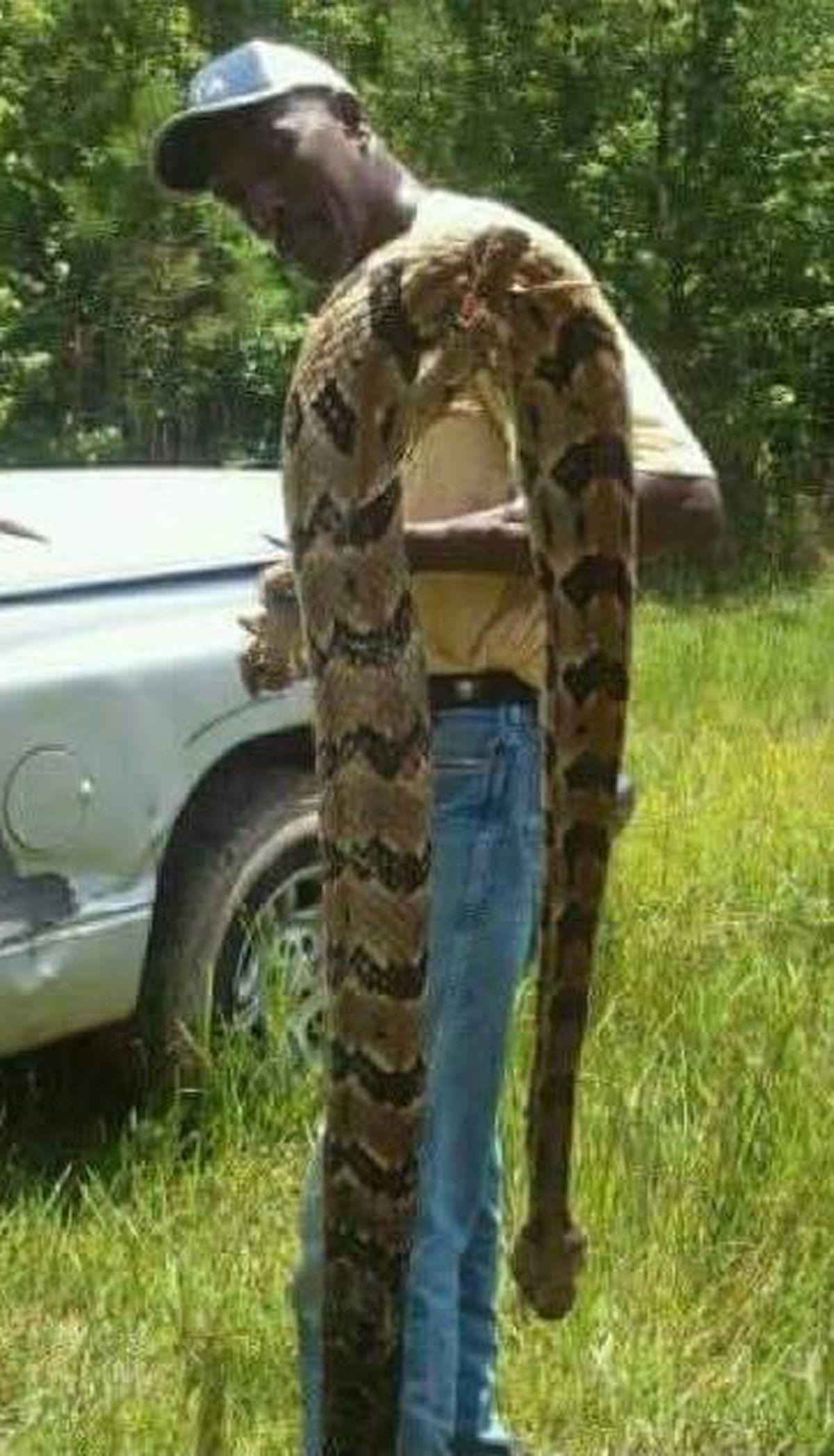 utica man kills huge rattlesnake