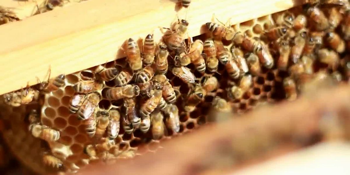 USDA cuts honeybee colonies report despite declining bee numbers