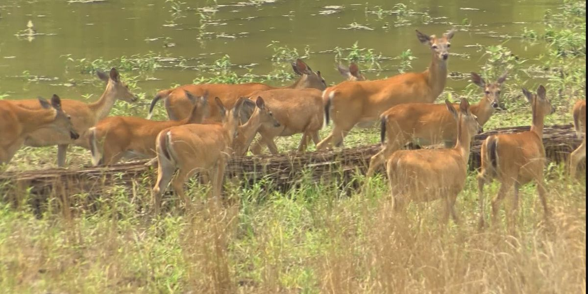 It's possible: Deer season in the South Delta might not happen this year