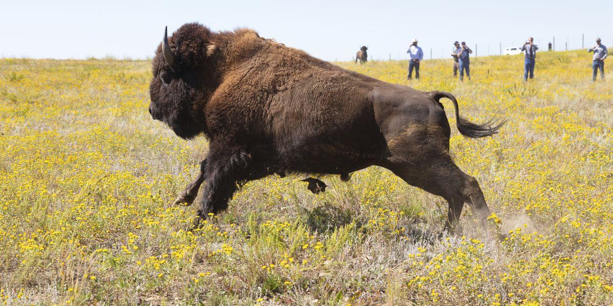 Bison shut down Texas highway near town of Buffalo Gap