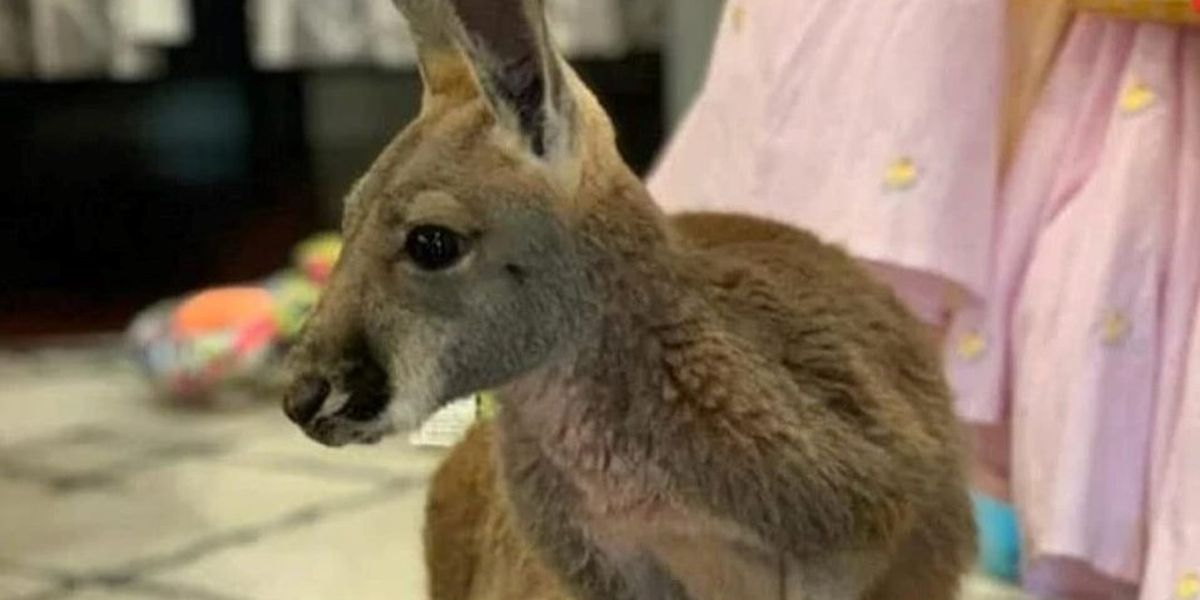 Safe and sound: JoJo the kangaroo back home after two-day search