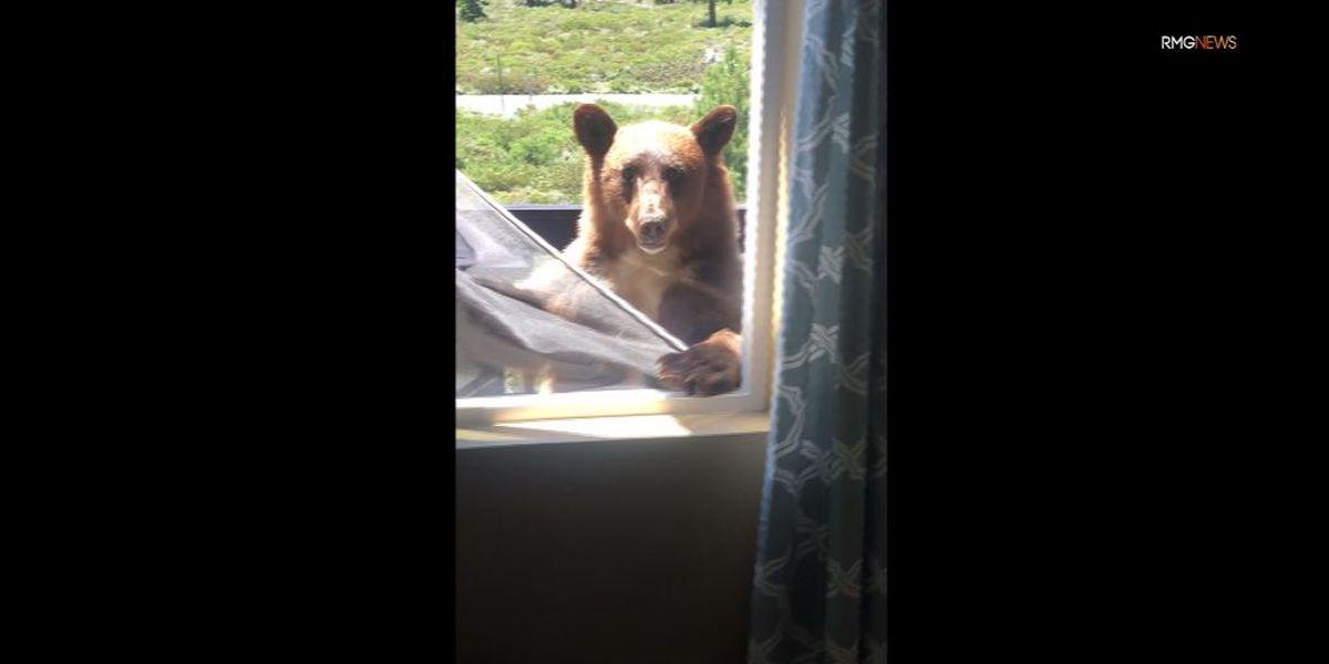 Bear tears down window screen as Calif. family tries to shoo it away