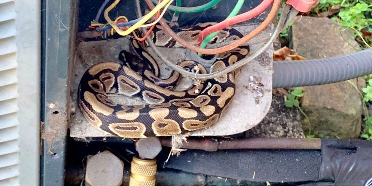 'Whoa!': Python found in AC unit startles technician, homeowner