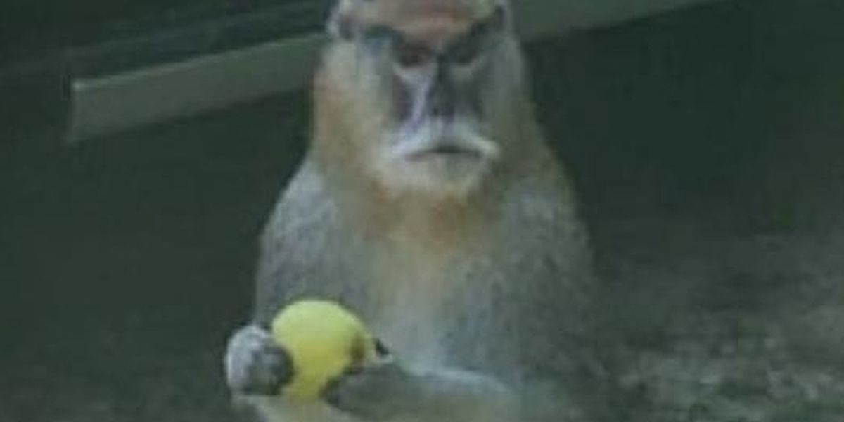Is that a mountain lion or a monkey?: Woman catches escaped pet on video
