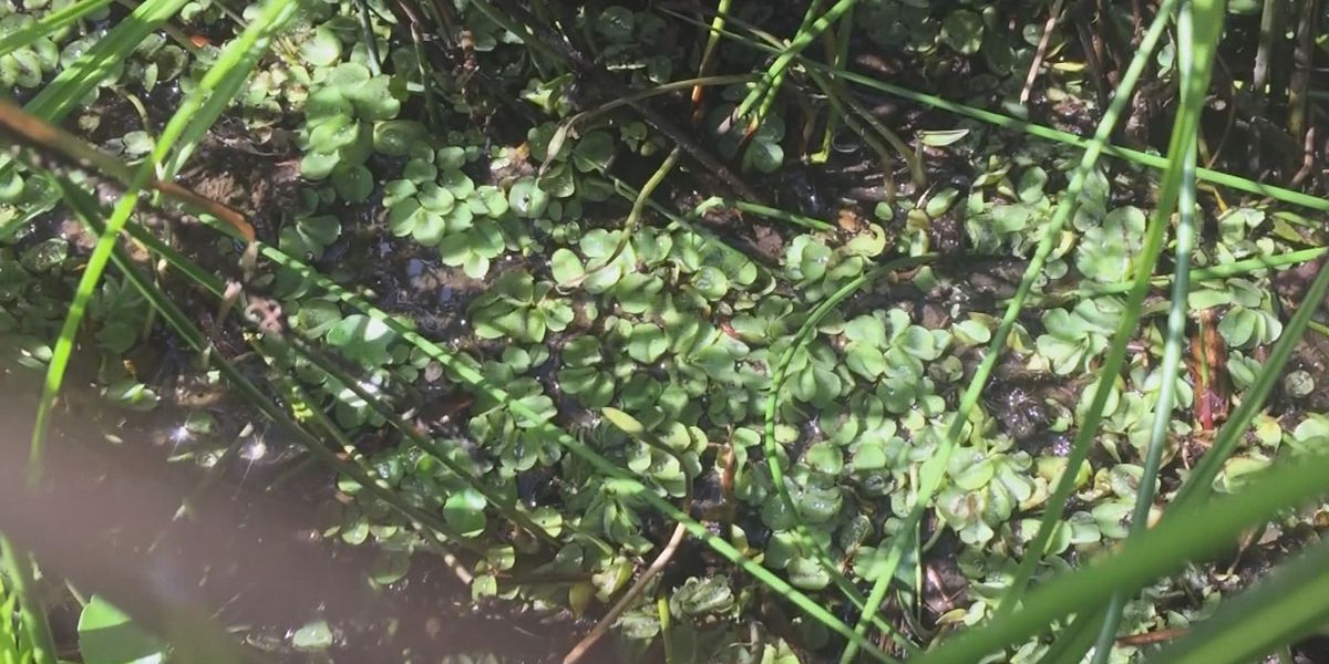 PRVWSD gives update on ongoing giant salvinia maintenance