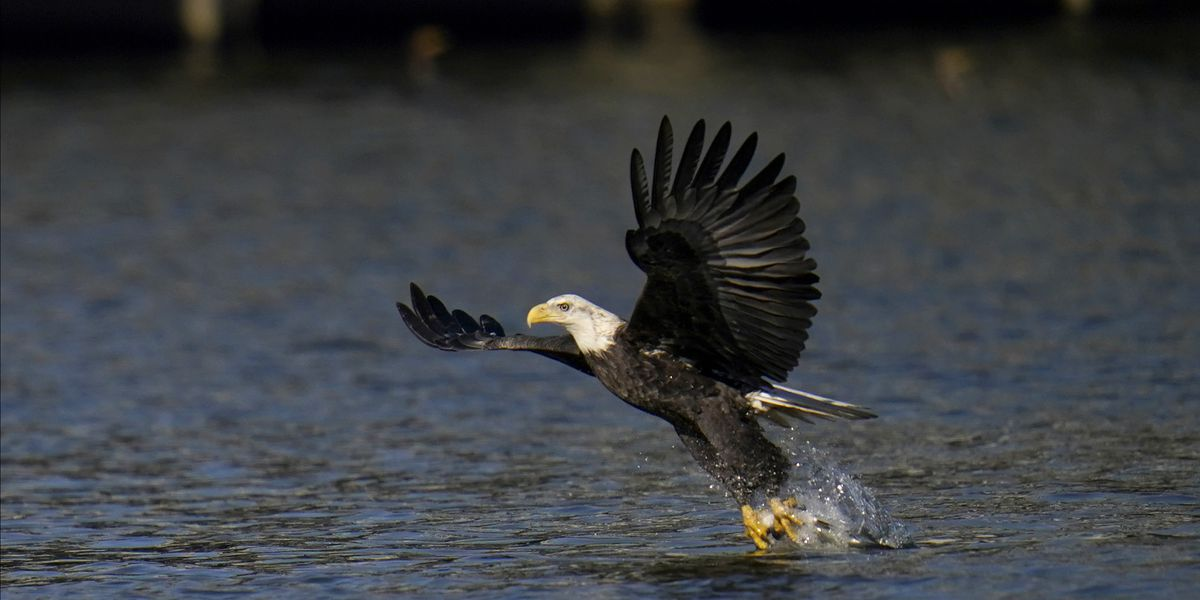 Wildlife officials spot 50 bald eagles around Miss. lakes