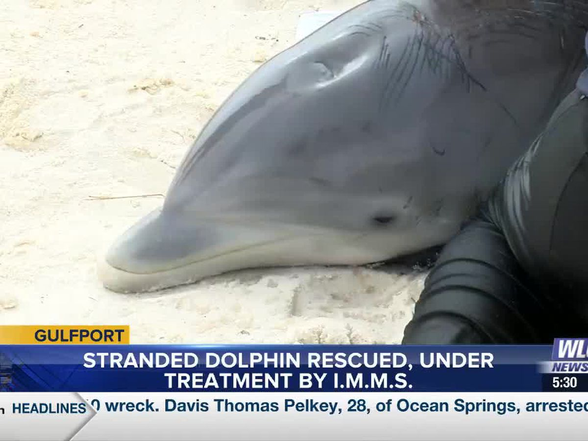 Stranded male baby dolphin rescued, under treatment by IMMS