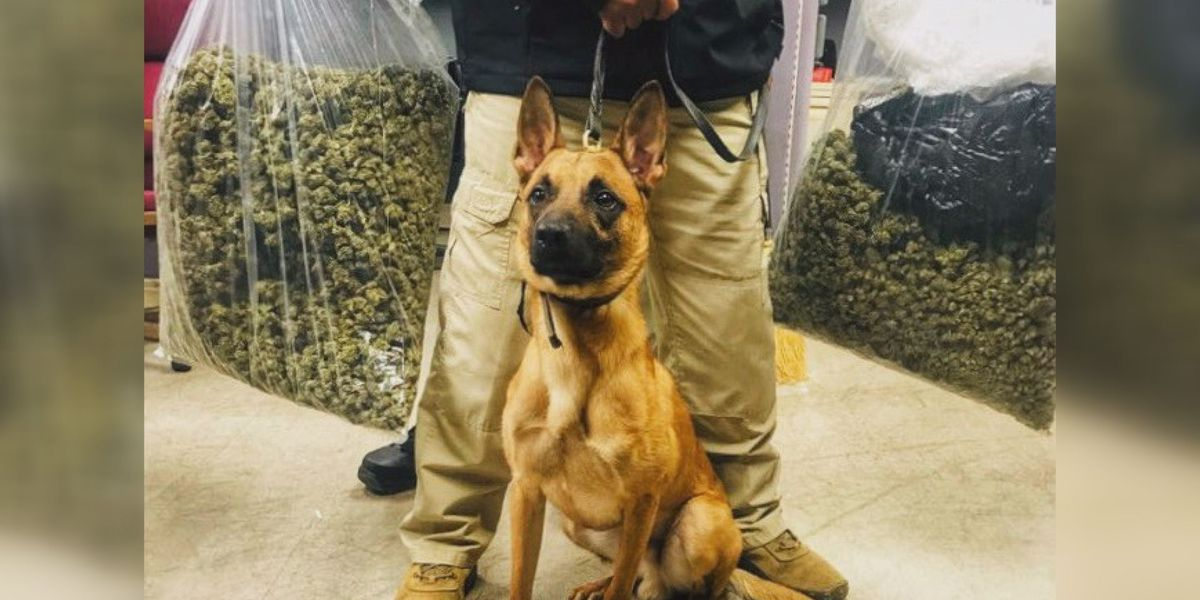 Drug detection dogs discover 40 lbs. of weed at Jackson postal facility
