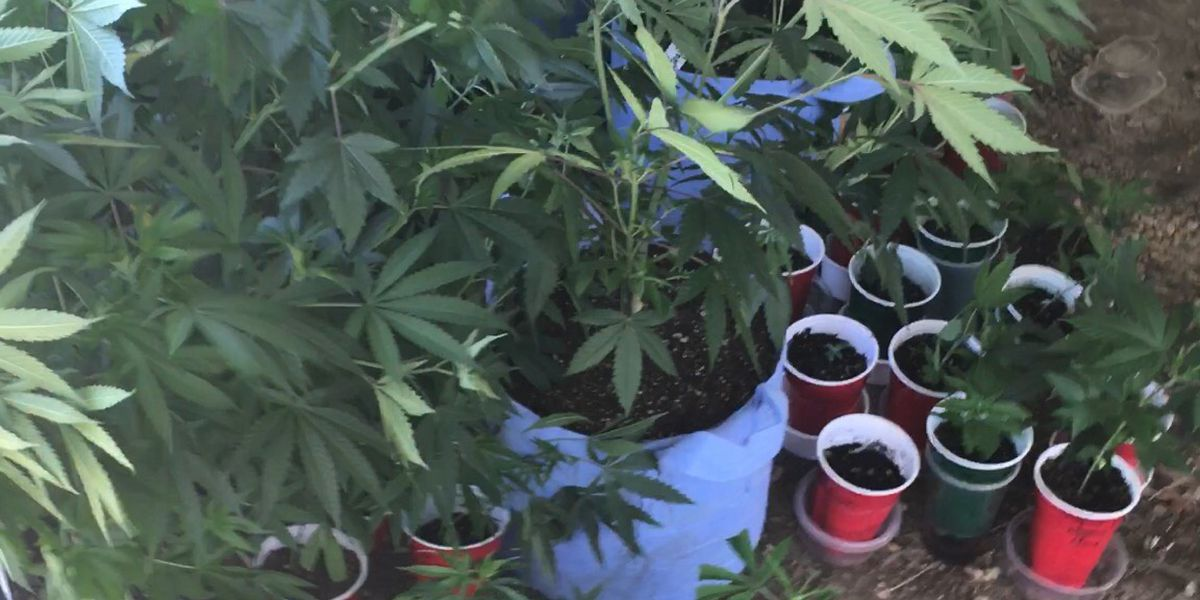 89 marijuana plants seized from 'elaborate' grow house in MS