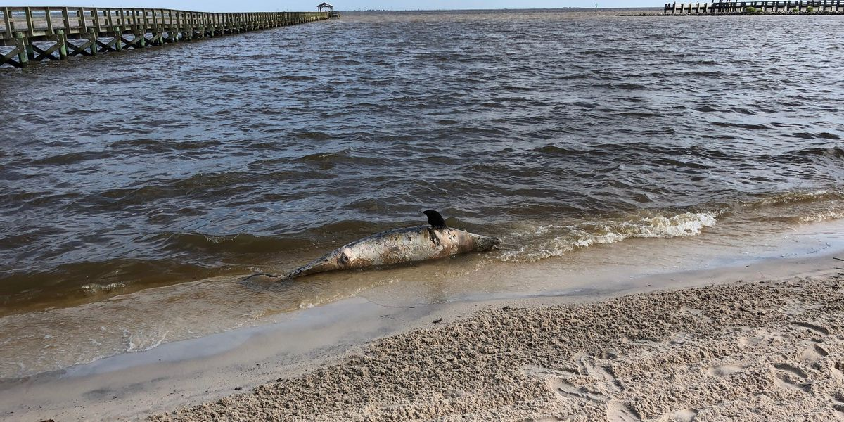 Four More Dead Dolphins Wash As