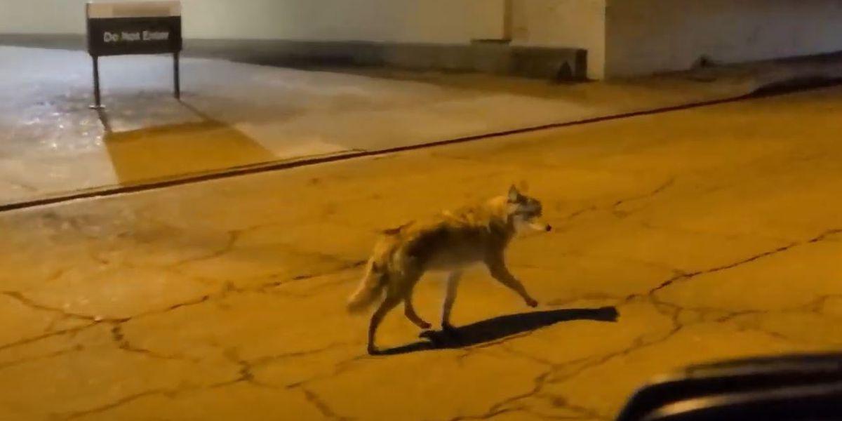 Coyotes spotted wandering Vicksburg streets