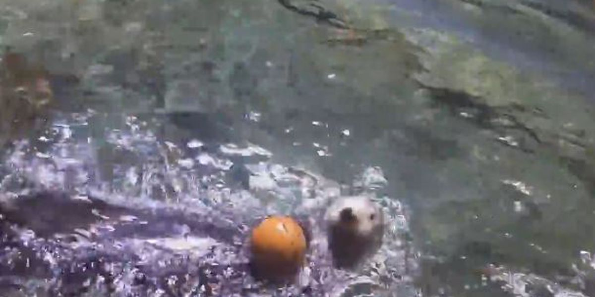 VIDEO: Clara the sea otter 'slam dunks' basketball